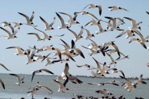 seagulls in Rockport